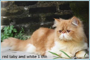 red-taby-and-white-1-thn