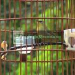 Burung Pleci Naik Daun